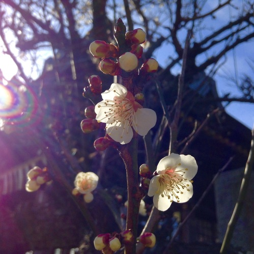 白梅が咲き始めました。