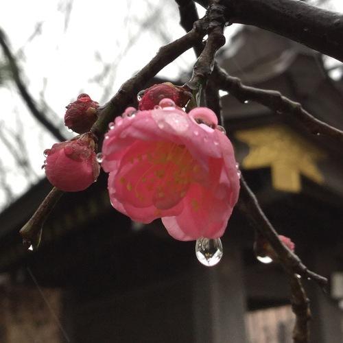 甘雨が梅の花にしたたっています。