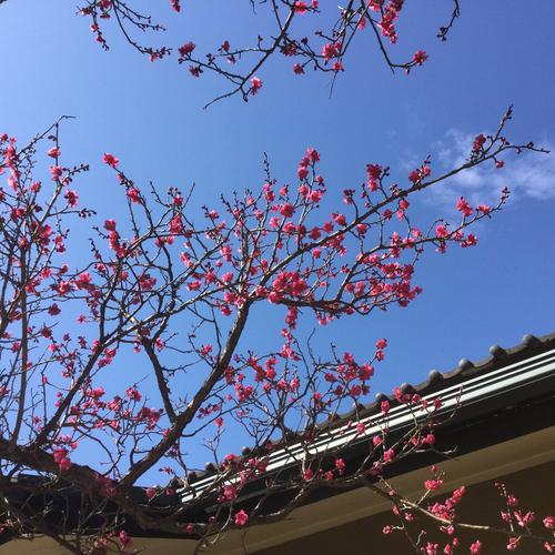 暖かい陽気に誘われて遅咲きの梅が咲き出しました。
