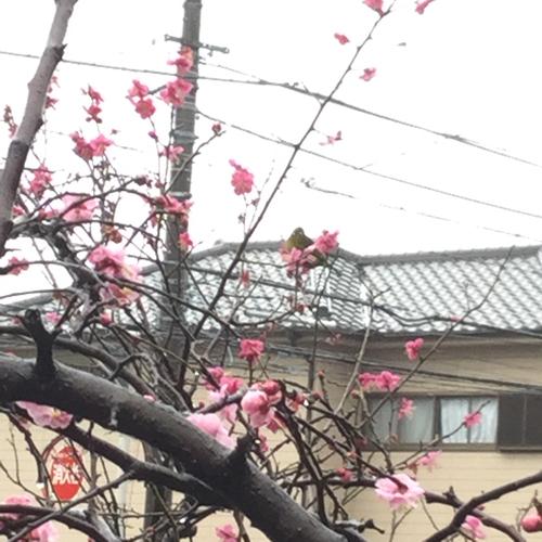 今日は雨ですが暖かいです。メジロが梅の木にとまっています。