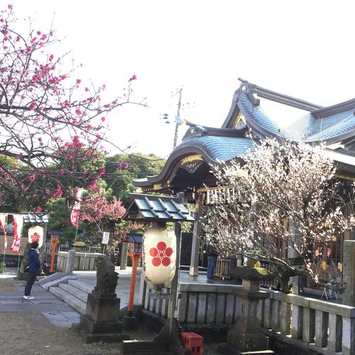すっかり晴れ上がった境内。梅の花、もちました!