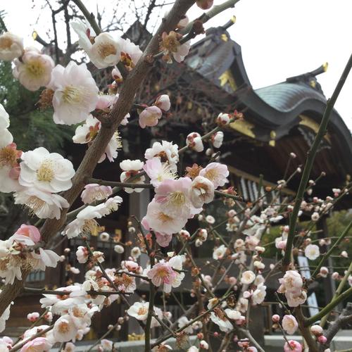 梅の花、まだ散るものかと咲いています。