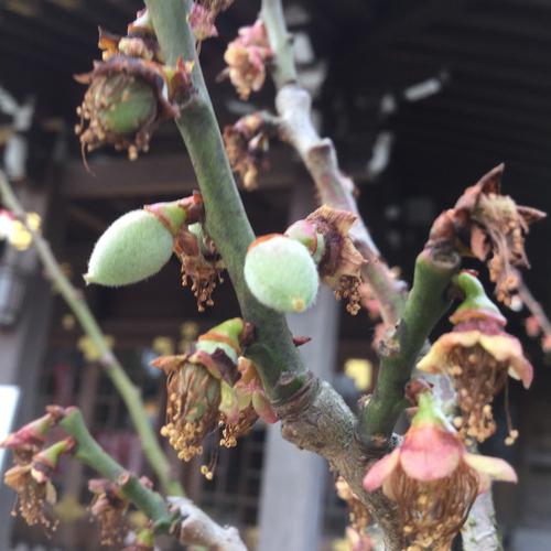小さな小さな梅の実が膨らみ始めました。