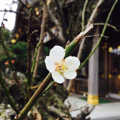 最後の一輪が桜の開花をいまかいまかと待ちわびています。