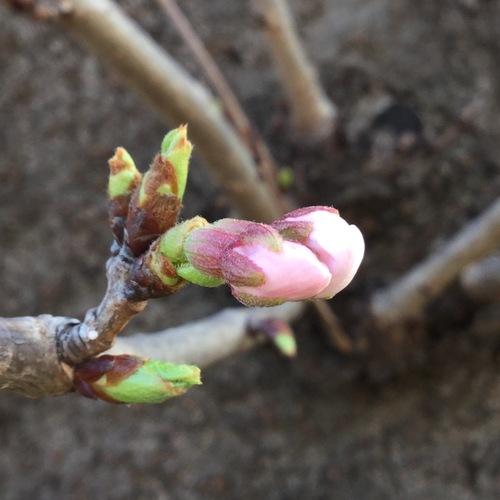 久里浜天神社の開花宣言、もう間もなくです。