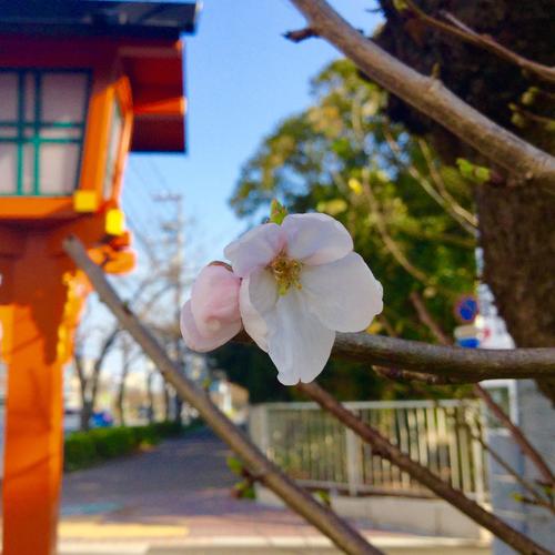道路沿いの桜が一輪だけ開花しました。