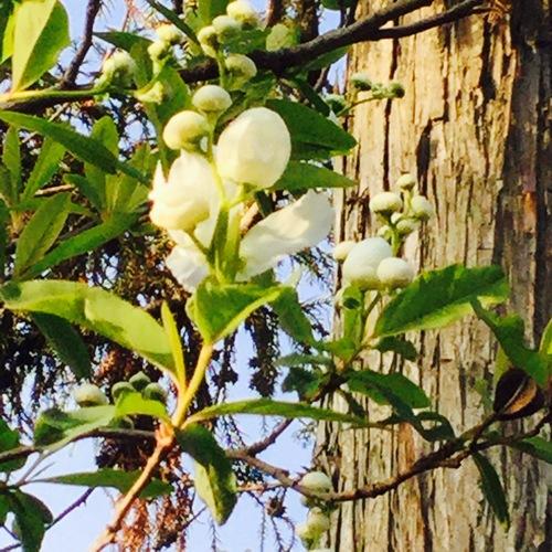 稲荷社近くの利休梅が咲きました。