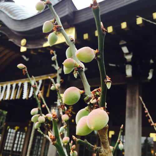 梅の実、ちゃくちゃくと成長中です。