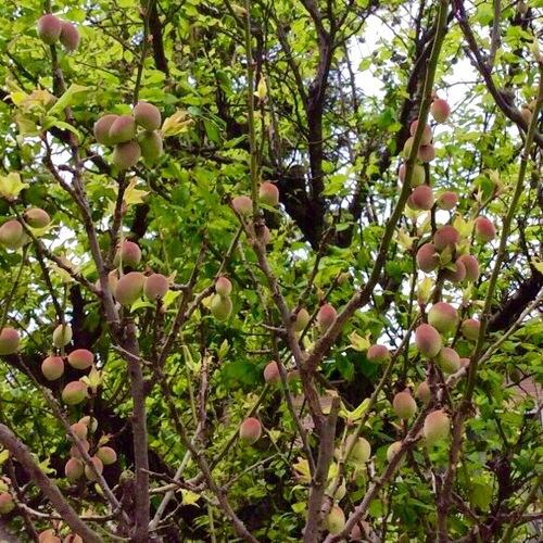 梅の実が、また更に大きくなりました。