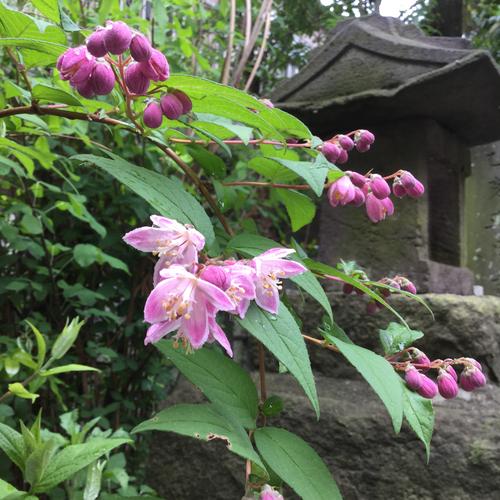 桜ウツギが咲いています。
