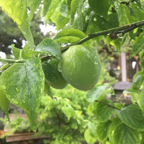 梅の実が、だいぶ大きくなりました。