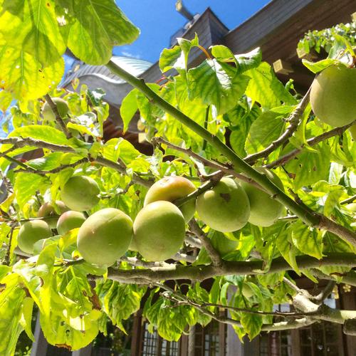 6月5日に梅雨入りし、梅の実を収穫する時期になりました。