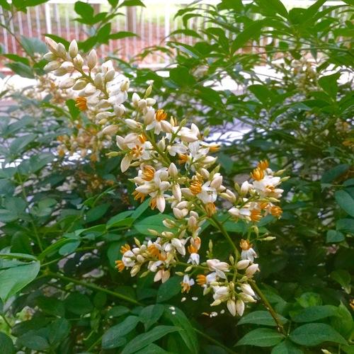 南天の花が咲いています。