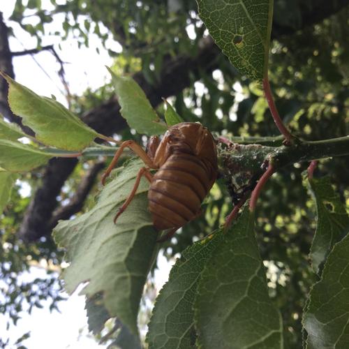 蝉の抜け殻を発見しました。