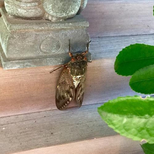 稲荷社に蝉がとまっていました。