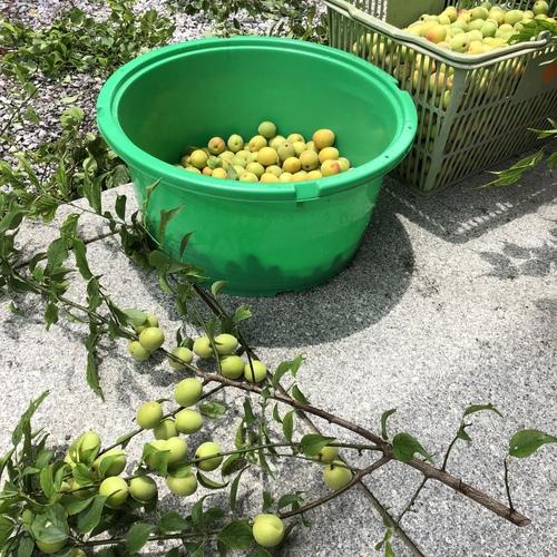六月七日 梅の実を収穫しました。
