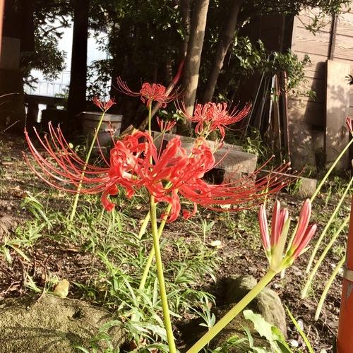 9月17日 彼岸花が咲き始めました。もうすぐお彼岸ですね。
