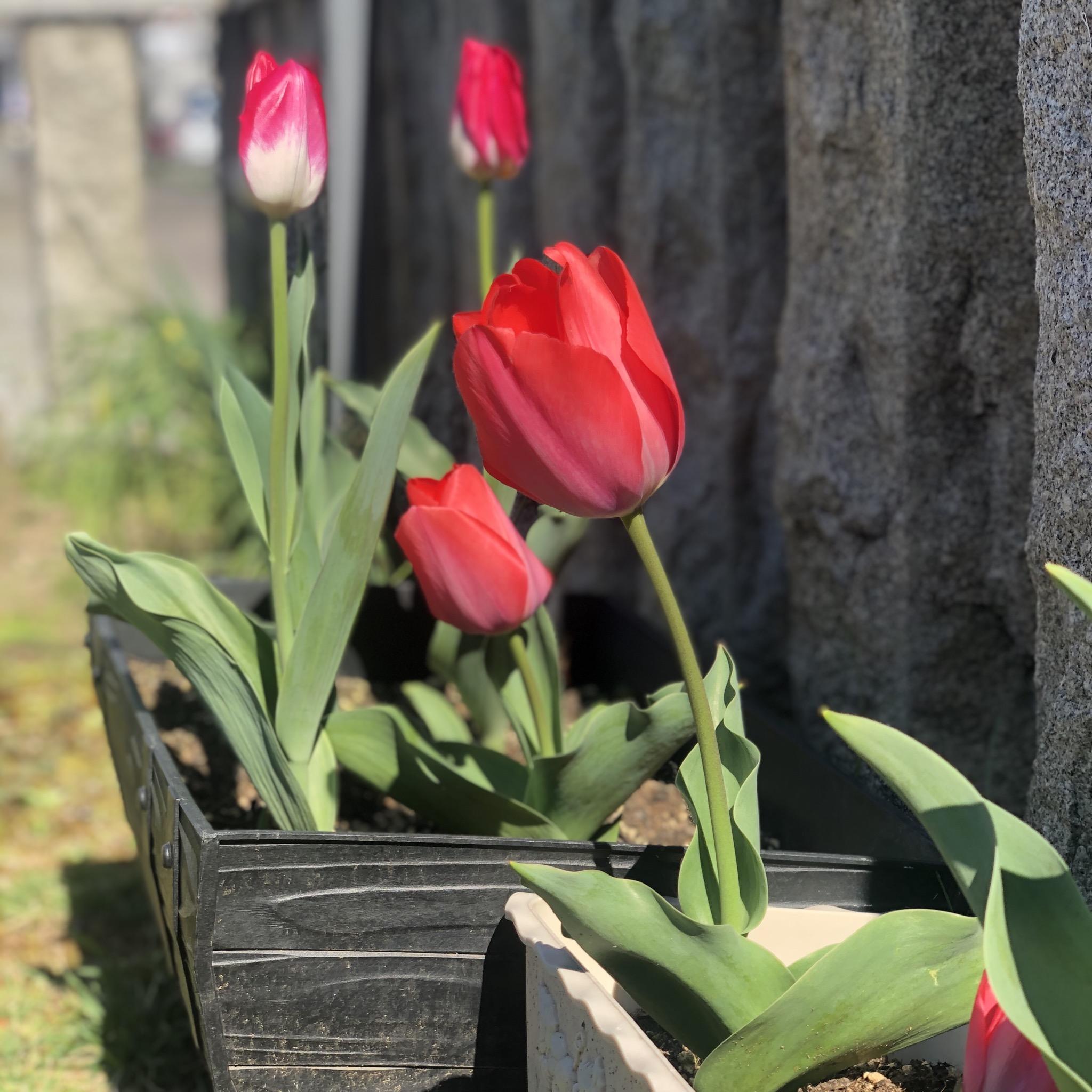 チューリップが咲き始めました