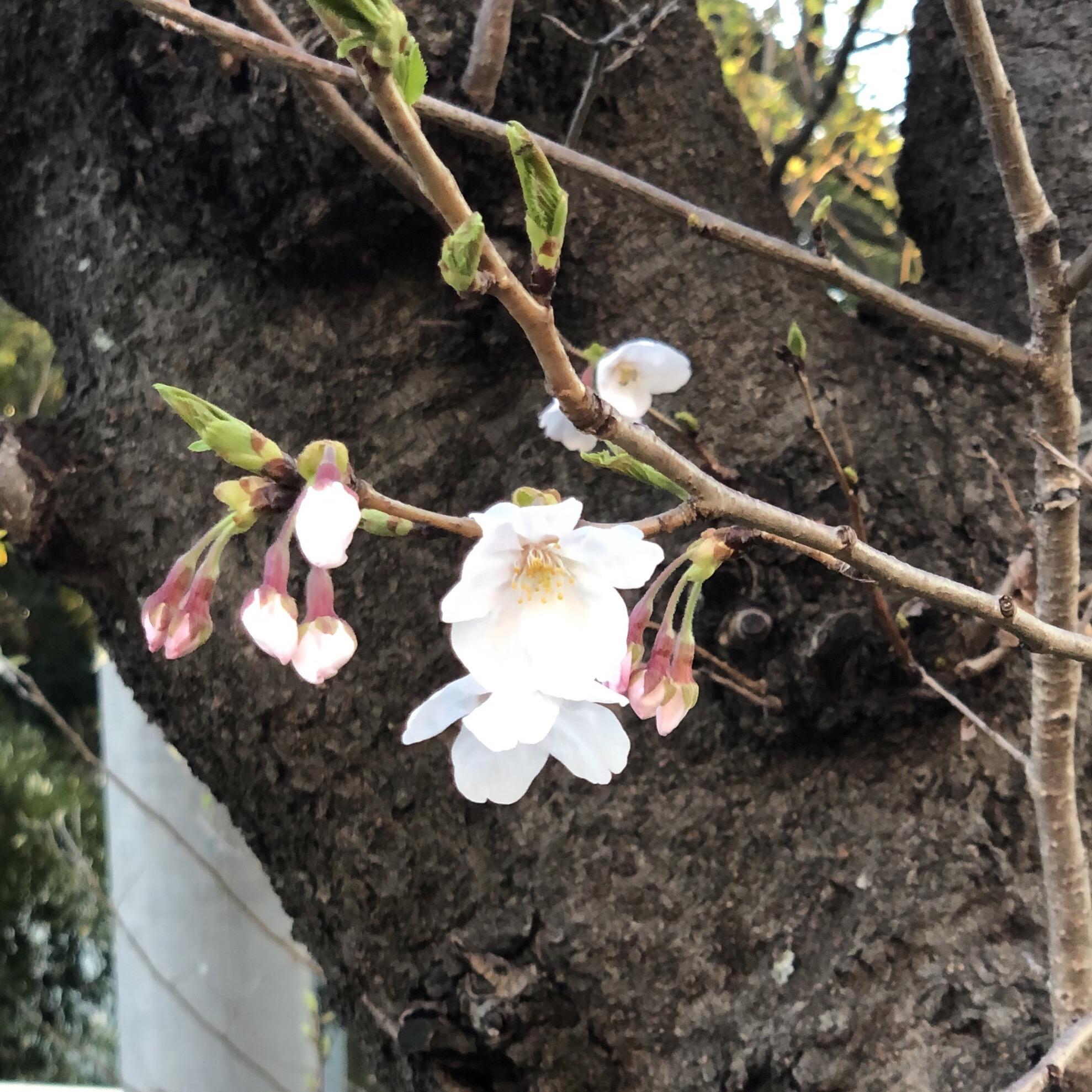 久里浜天神社の桜も咲き始めました。一日も早く新型肺炎が収束しますように。