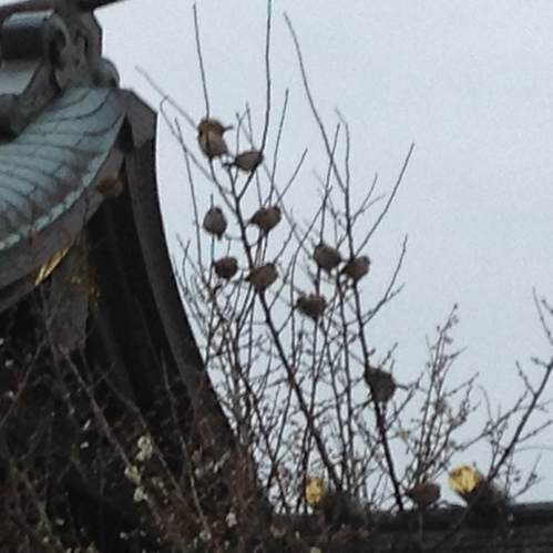 社殿横の梅の木に群がるすずめたち。
