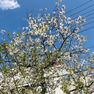 閉塞感をよそに、境内の桜、満開です。